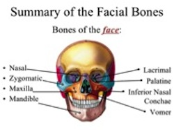 The facial skeleton ready