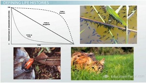 K Strategist Examples Populations: Density, Survivorship and Life Histories - Video & Lesson ...