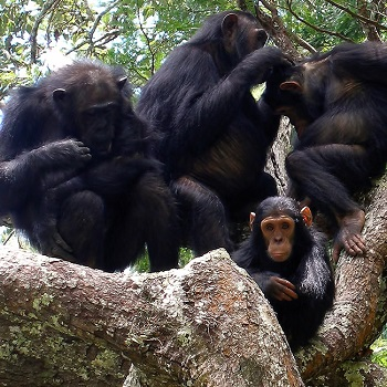 picture of ape family
