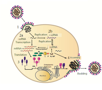 Mumps Virus: Structure and Function - Video & Lesson