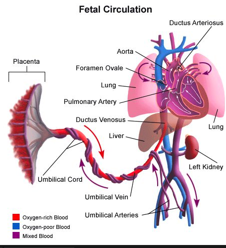 Fetal Blood Circulation Diagram Concept Video Lesson