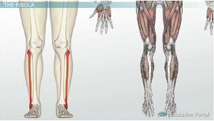 Bones of the Leg and Foot: Names, Anatomy & Functions ...