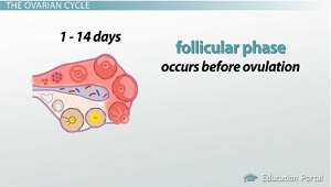 First Half of Ovarian Cycle is Follicular Phase