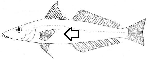 Flashcards - Fish Anatomy Flashcards | Study.com