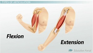 Flexion Extension of Limbs