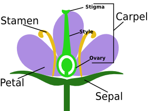 Ovary of a Flower: Function & Definition - Video & Lesson ...