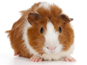 Guinea Pig Facts: Lesson for Kids | Study.com