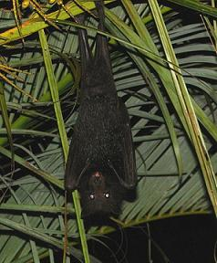 Mammal topics   Operation Wallacea We haven t the capacity    to extrapolate to the inner life of the bat
