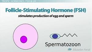 Hormones Of The Anterior Pituitary Gland Names Functions Video Lesson Transcript Study Com A hormone from gland a causes gland b to secrete its hormone. study com
