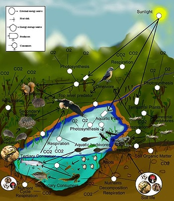 A food web shows how energy and matter moves inside of ecosystems