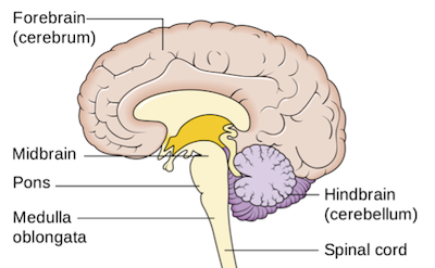 Forebrain definition function video lesson transcript study forebrain ccuart Image collections
