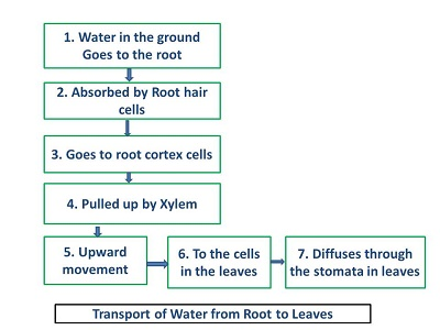 passive absorption of water in plants