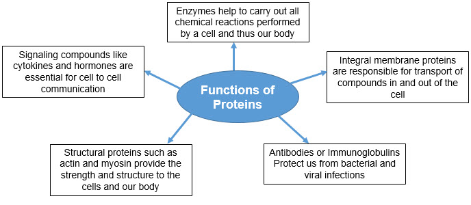 Protein Synthesis Definition Purpose Study