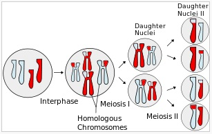 Image of Meiosis Overview