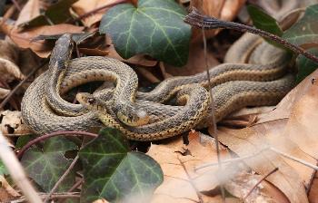 Garter Snake Facts: Lesson for Kids | Study com