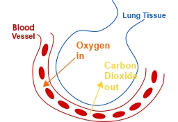 gas exchange in lungs