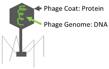 Overview of phage structure.