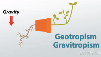 Geotropism: Definition, Examples & Experiments - Video