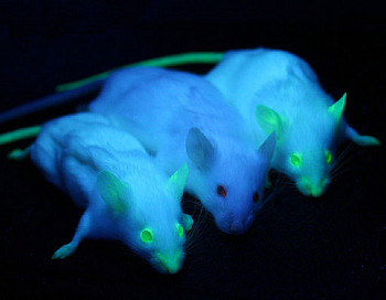 Photograph of genetically engineered, glowing mice.