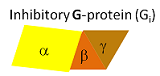 G-proteins have 3 subunits: alpha, beta and gamma