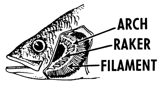 Flashcards fish anatomy flashcards for Arches related to breathing gills in fish