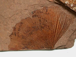 Gingko fossil leaf