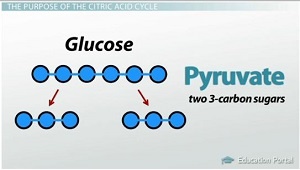 Glucose Breaks Down into Pyruvate