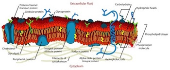 what do glycolipids do in the cell membrane