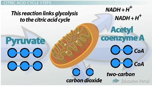 The Citric Acid (Krebs) Cycle: Products and Steps - Video & Lesson ...