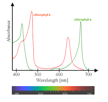 Chlorophyll wavelength absorbance