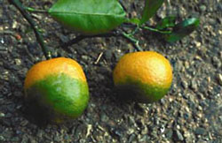 citrus damaged by citrus greening disease