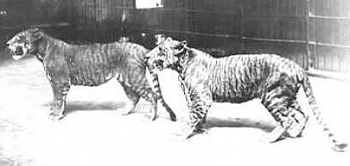 A photograph of two lions taken in 1904.