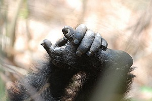 Chimpanzee hands