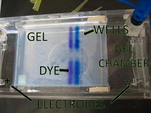Gel electrophoresis essay