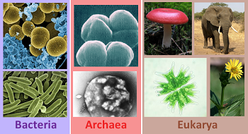 Tree Of Life Domains Bacteria Archaea Amp Eukarya Study Com