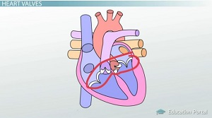 Anatomy of the heart blood flow and parts video lesson the sound of your heartbeat is the valves opening and closing ccuart