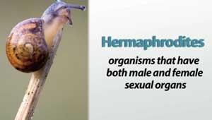Hermaphrodite biology definition