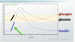 Chart showing glucose, insulin, and glucagon concentrations after meal