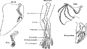 Picture showing the bones of the forelimbs