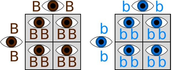 Homozygous example punnett square