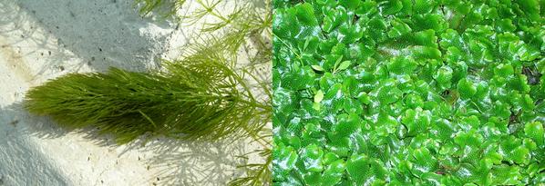 Nonvascular plants liverworts