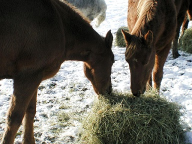 horses eating hay