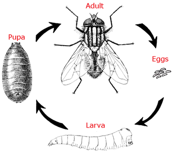 housefly life cycle