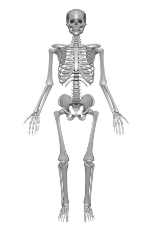 actions & processes of the skeletal system | study, Skeleton