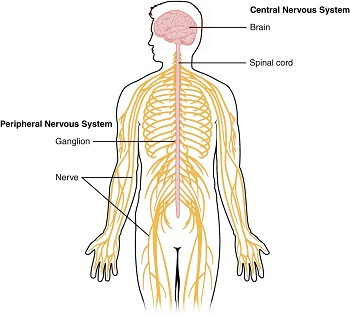 Nervous System Functions Lesson For Kids Study Com