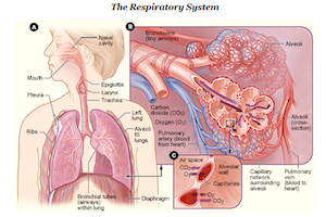 Biology essay on the circulatory/respiratory system. any ideas?