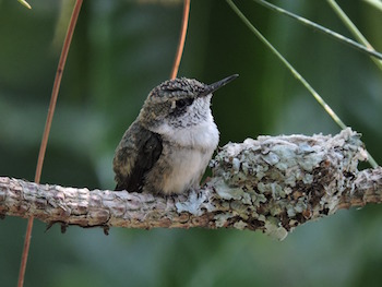Life Cycle of a Hummingbird: Lesson for Kids | Study com