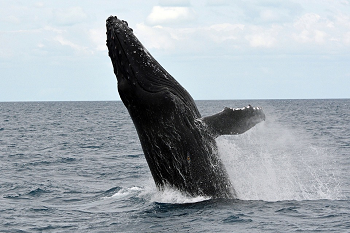 a study of the humpback whale Humpback whales can be identified by their long pectoral flippers that are approximately 1/3 their body length the top, or dorsal , part of the body is black, but parts of both sides of the flippers and the undersides of the tail flukes are white.