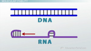 Hydrogen Bonds in DNA and RNA