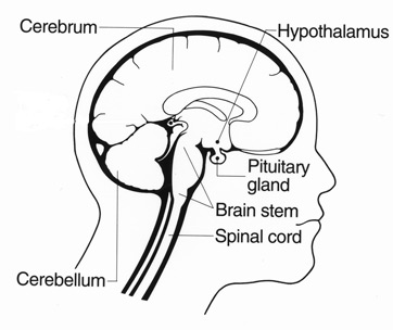Brain Structures And Functions Part I Video Lesson Transcript